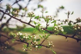 free photo apple tree flowers free image on