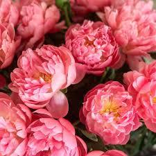 instagram pinkpeonies pink peony perfection shopfiveonefive flowerpower pinkpeonies
