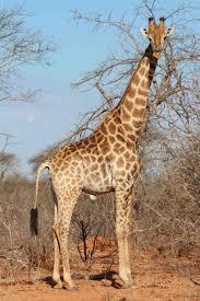 tammie matson giraffe