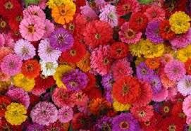 Zinnia Flower Buy Miscellaneous Zinnia Flower Seeds