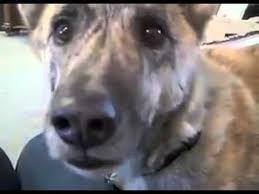 Dog Bacon Meme - ultimate dog tease the maple kind youtube