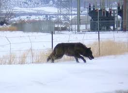 belgian sheepdog club of the rockies fighting the wolf war lobowatch