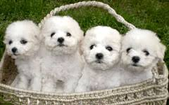 bichon frise dog breeders bichon frise puppies for sale in boca raton