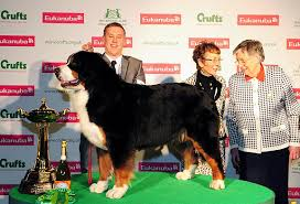 boxer dog crufts 2015 crufts 2013 results