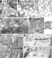Scf Campus Map Toxoplasma Gondii Sequesters Lysosomes From Mammalian Hosts In The