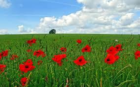 poppy flowers 6857364