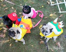 pug halloween costume for baby r pugs photo contest halloween costume edition pugs