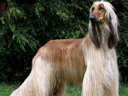 8 month old afghan hound afghan hound dog breed history and some interesting facts