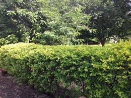 ornament evergreen flowering shrubs stunning ornamental evergreen