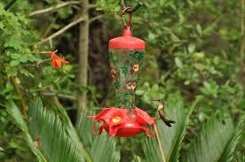Hummingbird Plant Hummingbirds In Texas Dallas Garden Buzz