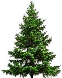 fraser fir tree shop for christmas trees without lights at the garden gates