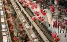 Termometer Kandang Ayam analisa ini sebelum memulai usaha ternak ayam petelur