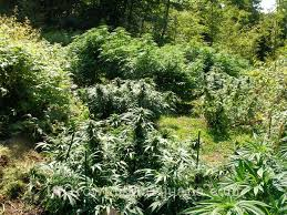 basic soil requirements for outdoor marijuana growers the weed blog
