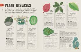 Umbrella Plant Diseases - how not to kill your houseplant survival tips for the
