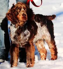 our dogs royal flush english springer spaniels