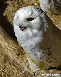 Barn Owl Photography Owl Photography Contest Pictures Image Page 1 Pxleyes Com