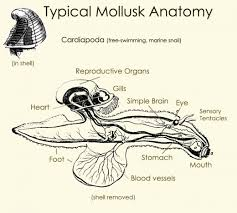 types of mollusk snails bivalves squid and more owlcation