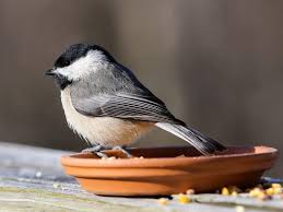 Texas birds images Central texas backyard birds travis audubon jpg