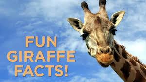 giraffe cam april the giraffe to give birth to calf abc7news com