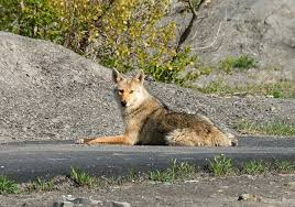 Coyote In My Backyard How To Keep Coyotes Away From Your Chicken Coop