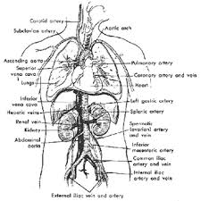 Human Anatomy Upper Body Human Anatomy Upper Body Periodic Tables