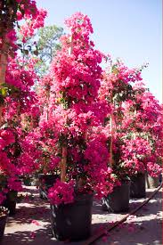 Bougainvillea Topiary - about us topiary creations