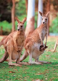 imagenes animales australia 6 unique animals of australia go ahead tours travel blog