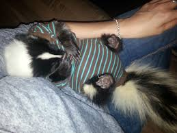 my skunk had surgery since she can u0027t wear a cone of shame my vet