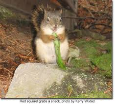 How To Hunt Squirrels In Your Backyard by Squirrels In Maryland Maryland U0027s Wild Acres