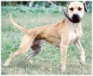 american pit bull terrier breed standard what does a pit bull look like