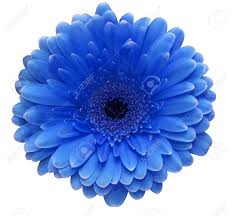 blue flower blue flower stock photo picture and royalty free image image
