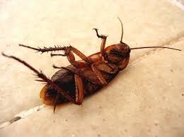 light brown roach looking bug cockroach pest control robert s termite pest control inc
