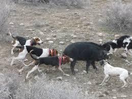 bluetick vs english coonhound hog hunting walkers biggamehoundsmen com