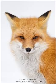 sleeping red fox wallpapers 186 best fox images on pinterest red fox wild animals and