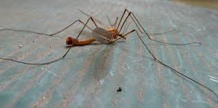 crane fly infestation the best crane 2017