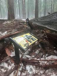 Chandelier Tree Address One Of California U0027s Famous U0027drive Through U0027 Trees Toppled By Winter