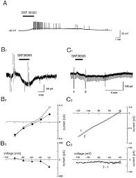 dopamine d1 like receptor activation excites rat striatal large