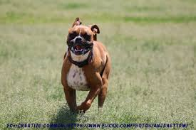 boxer dog training tips how much exercise do boxers need boxer dog info and health tips