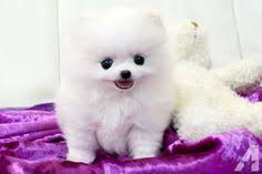 Seeking Teacup Teacup White Pomeranian Puppy Obsession Adorable Teacup