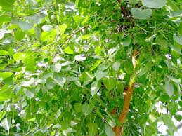 linden flower linden flower leaf and seed of bodhi tree esgreen enjoy