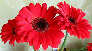 gerbera colors different colors of gerberas and their significance
