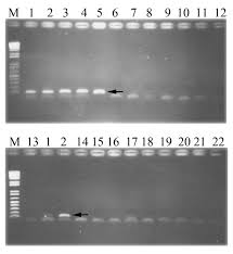 development of a pcr assay and pyrosequencing for identification