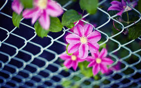 flower flowers pink petals leaves net fence background wallpaper