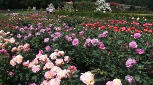 nursery with coloured rows of blooming roses in
