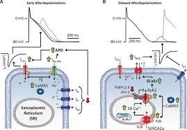 cellular and molecular electrophysiology of atrial fibrillation