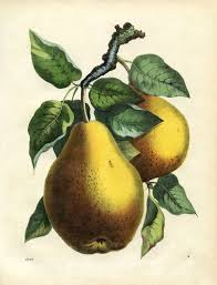 Pear Home Decor by Printable Wall Decor Botanical Pears The Graphics Fairy