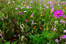 autumn flower field purple flower flowers free nature pictures