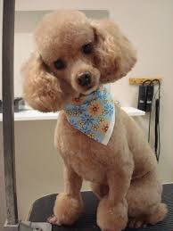 30 poodle haircuts you ll definitely love hairstylec