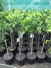 gardenia standard westlake nursery