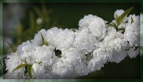 20 flowering almond bush rainbow eucalyptus tree for sale
